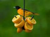 Black Metal Oriole Feeder. Holds 4 pieces of fruit. Hangs.